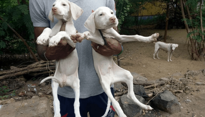 Rajapalayam dog puppies