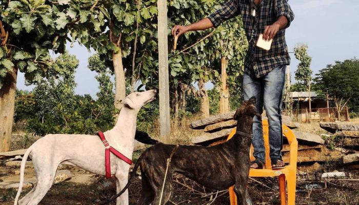Feeding Mudhol Hound
