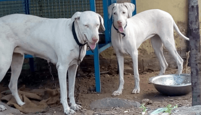 Rajapalayam dog feeding