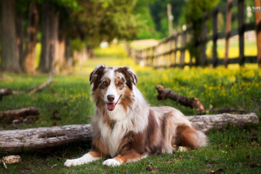 Australian Shephard lazing around by the boulevard