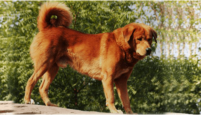 gujjar dog standing tall