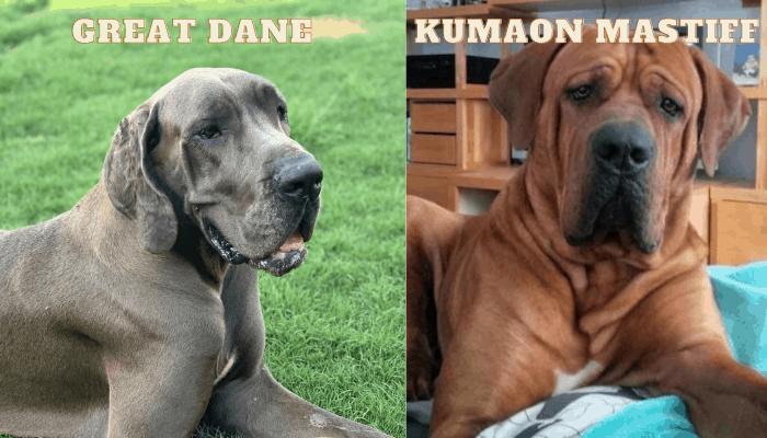 Kumaon Mastiff and Great Dane