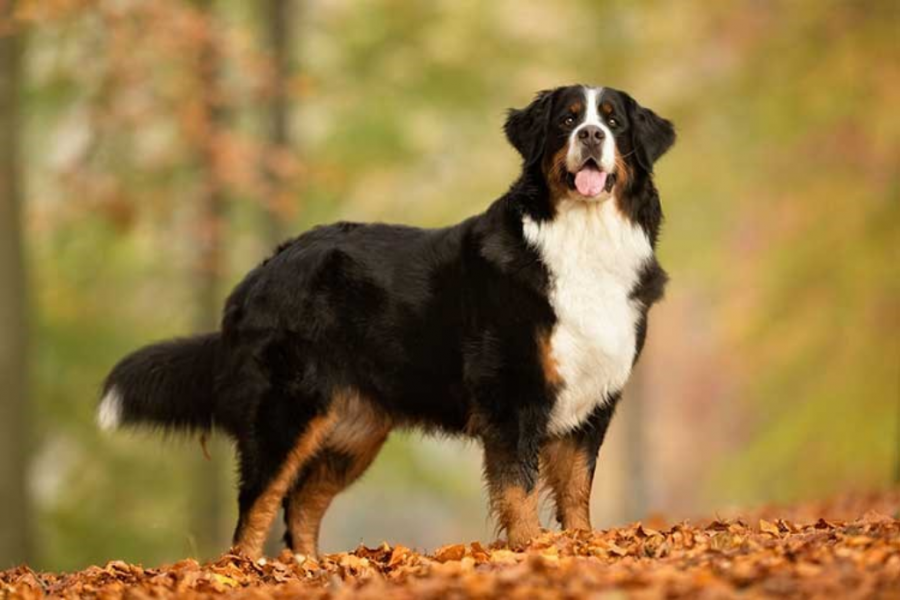 Bernese Mountain Dog posing near an uphill