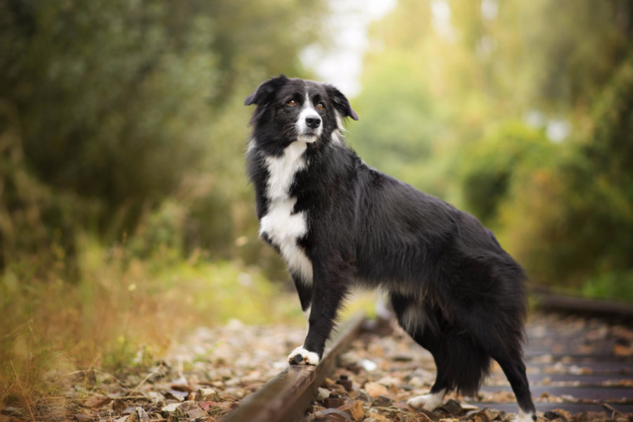 Border Collie on a railway Track