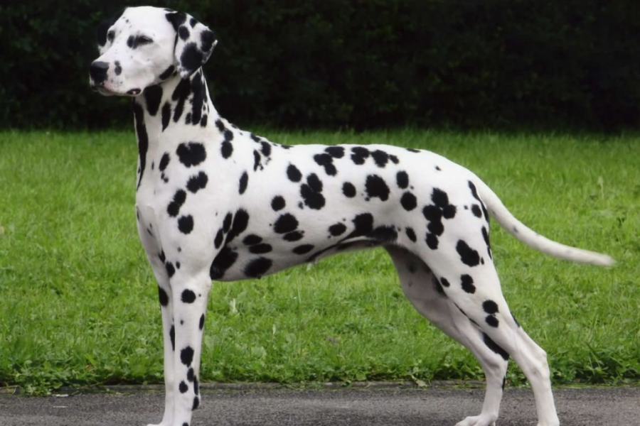 Dalmation dog standing beside a grass