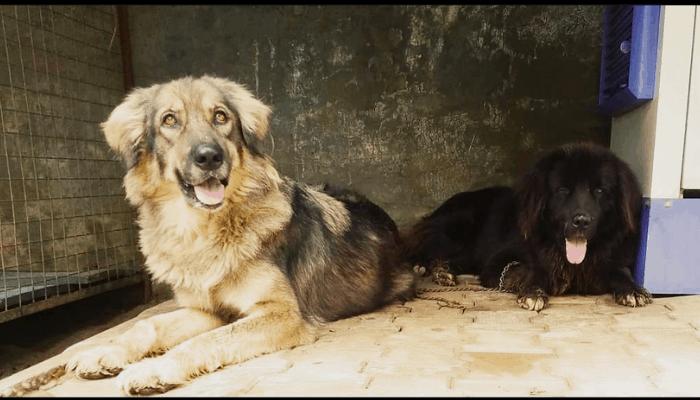 Feeding a Bakharwal dog