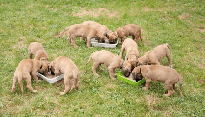 Kumaon Mastiff puppies