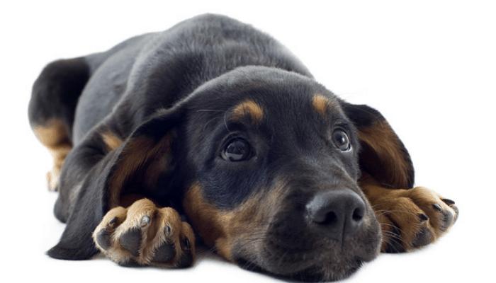 doberman puppy cute