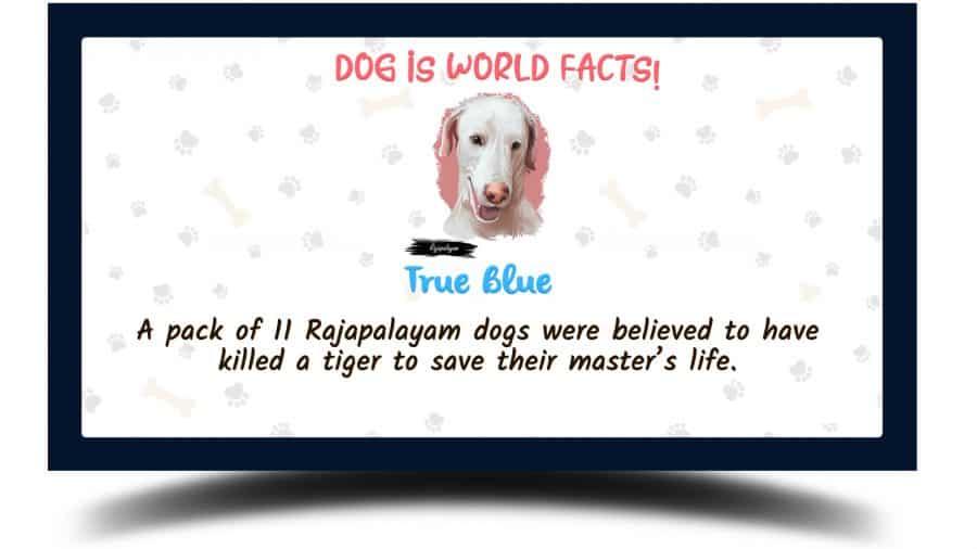 Rajapalayam dog facts