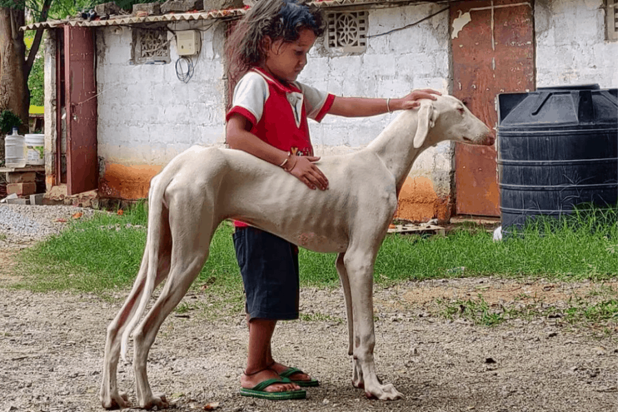 Mudhol Hound with kid