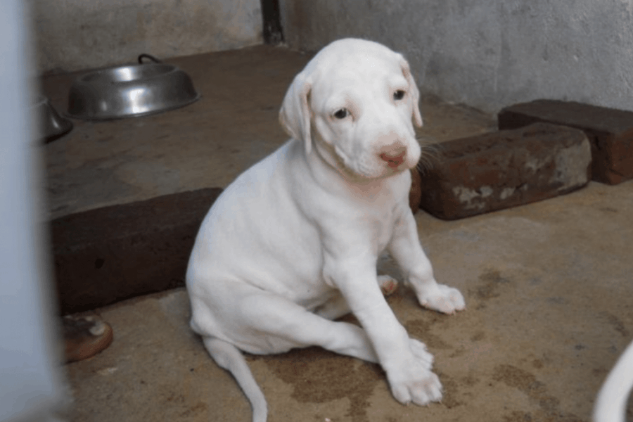 Rajapalayam dog puppy