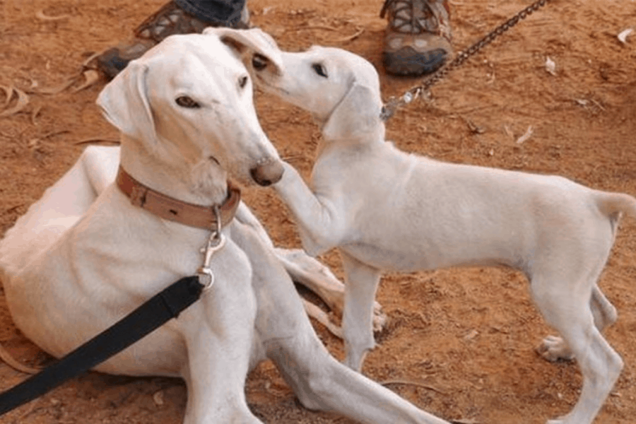 Mudhol Hound Dog with Puppy