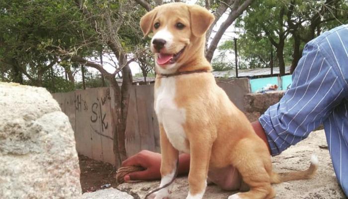 Pandikona puppy