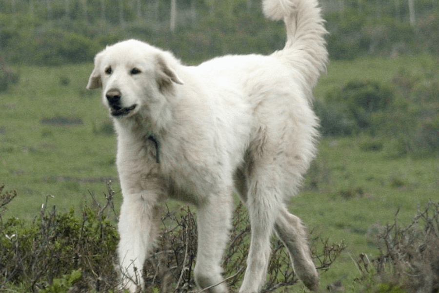 Bakharwal dog in white