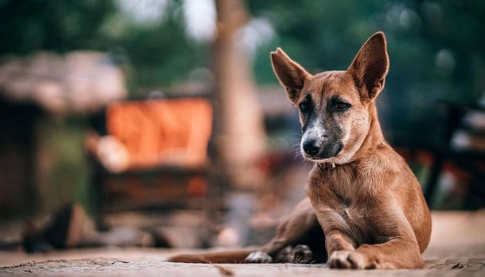 Indian Dog Breed Sitting