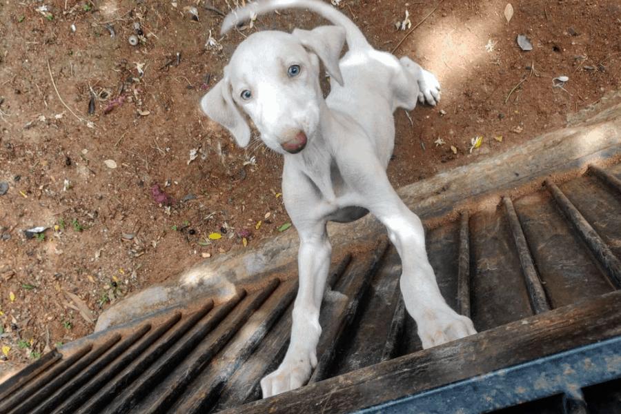 Mudhol Hound Puppy