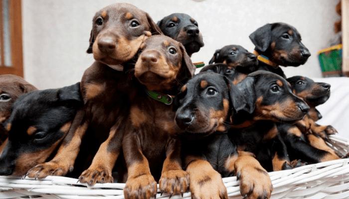 bunch of doberman puppies