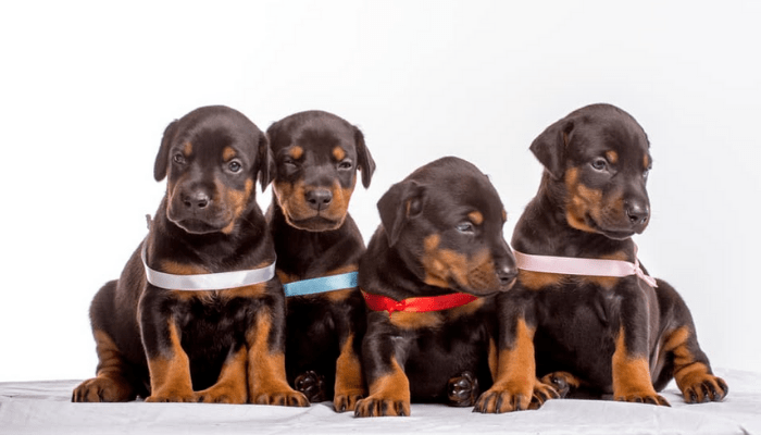 Doberman puppy litter box