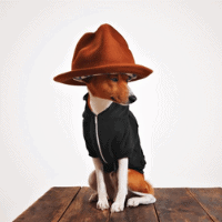 Basenji swag looking cute