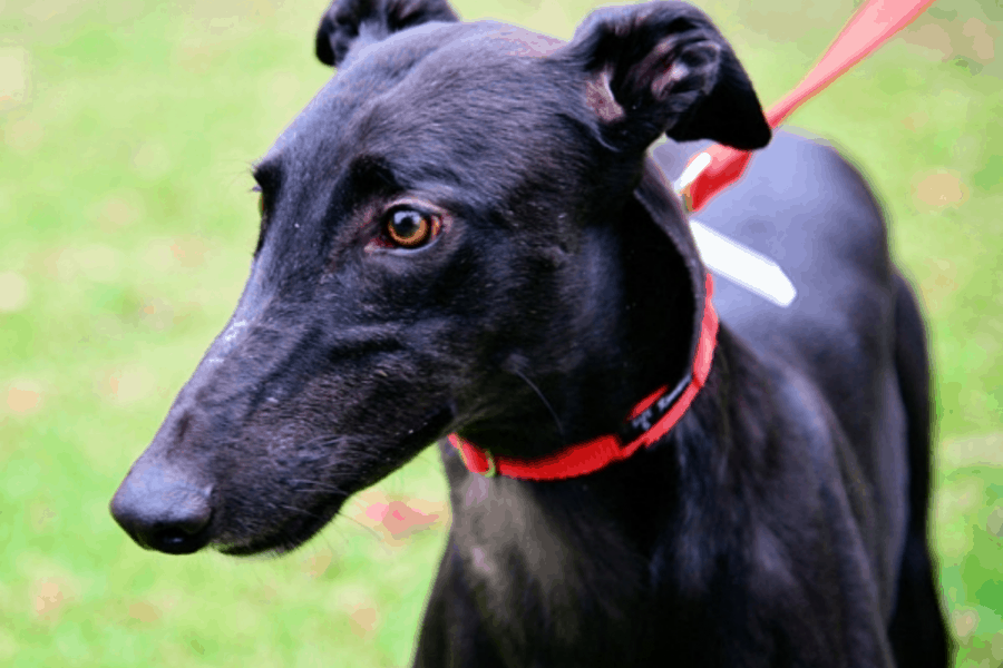 Black colour Rampur Greyhound