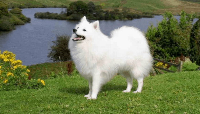 Cute Indian Spitz Pictures