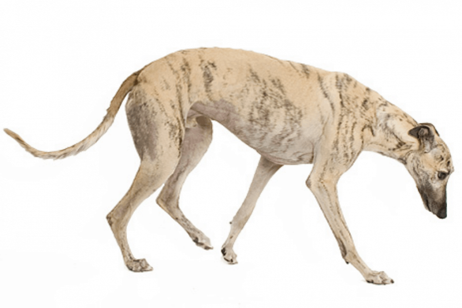 Cream colour Rampur Greyhound