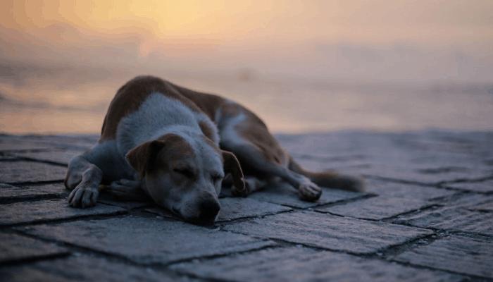 Indian street dog lying down