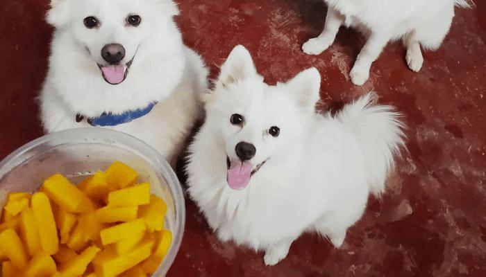 Feeding an Indian Spitz Mangoes