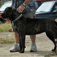 Kumaon Mastiff Cute