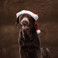 chocolate labrador christmas