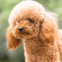 Poodle looking cute