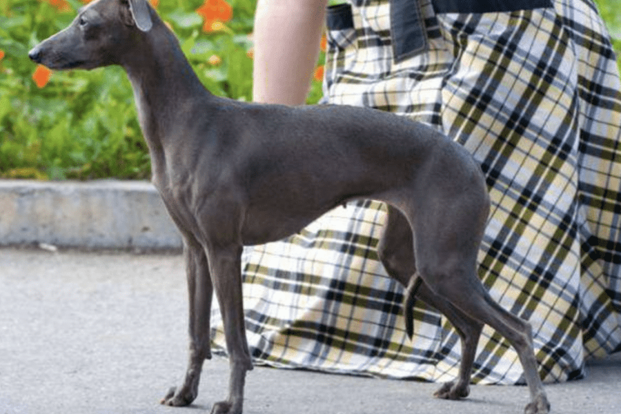 Tan colour Rampur greyhound