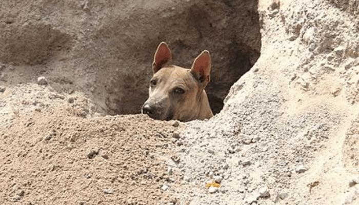 Jonangi digging a hole