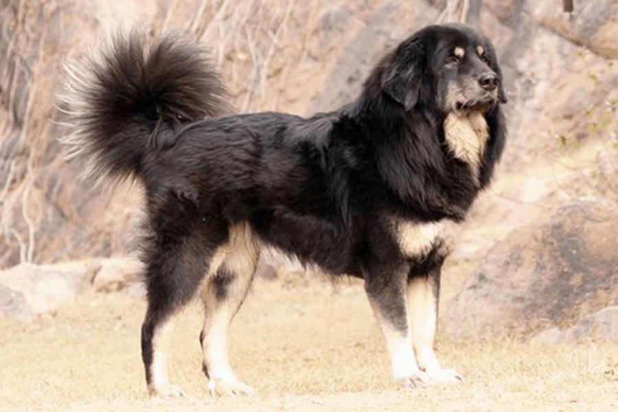 Gaddi Dog Color