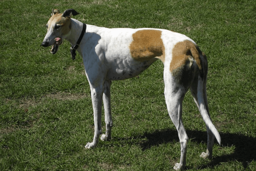 White and spots colour Rampur greyhound