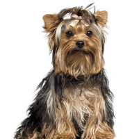 YorkShire Terrier Cute