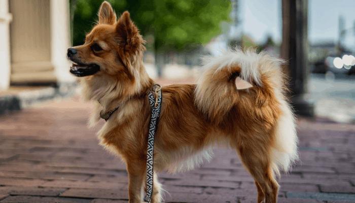 Pomeranian chihuahua mix pomchi standing