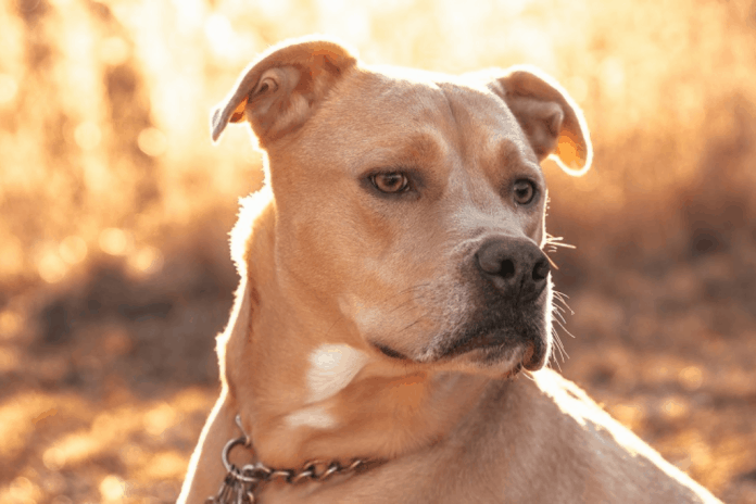 American Pitbull Mix That you need to see right now