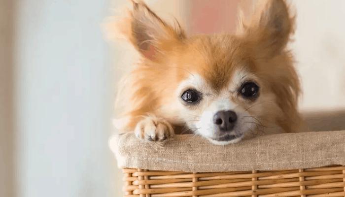 Feeding a pomchi dog breed