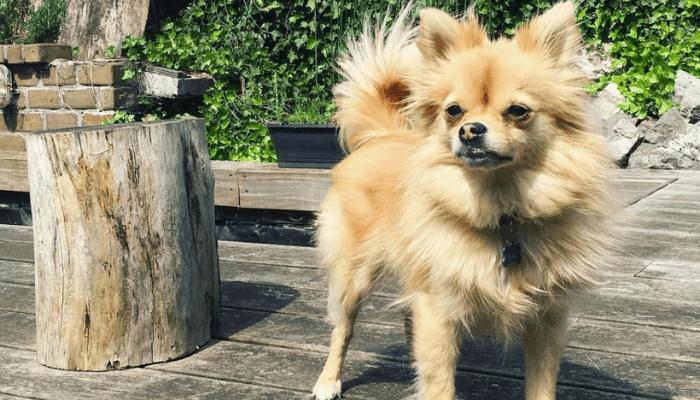 pomchi dog breed's personality and temperament