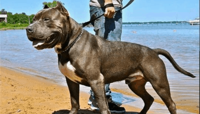 Cane Corso and Pitbull mix