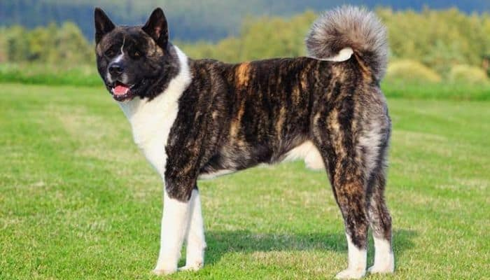 Brown Brindle Akita dog on a green background.