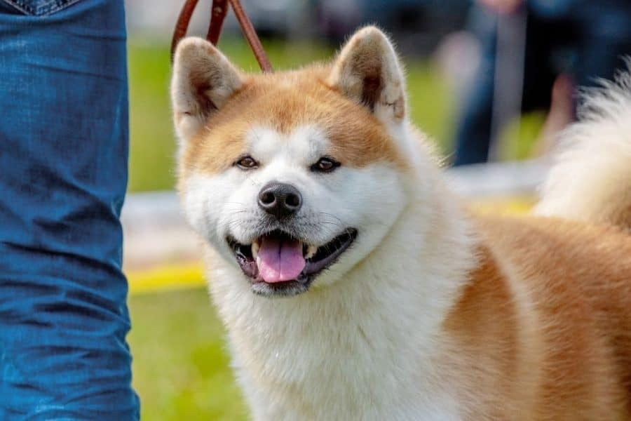 Japanese Akita dog with a leash looking with a blur background.