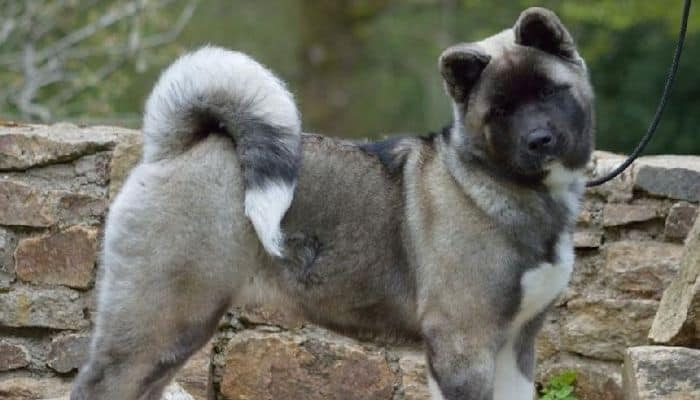 Silver and Black Overlay Akita dog in a leash on a blur background.