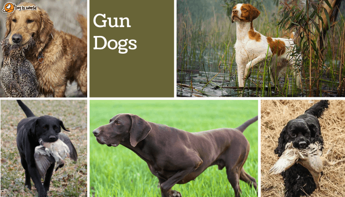 different dogs in gun dog group