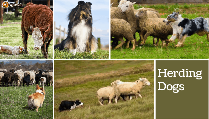 different dogs in herding dog group