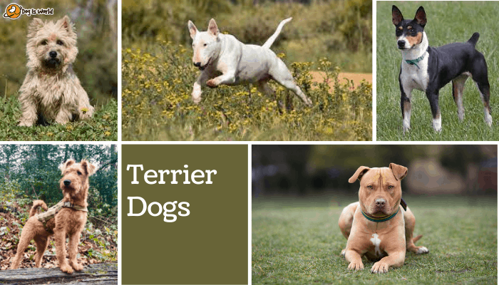 different dogs in terrier dog group