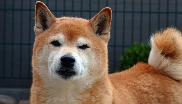 Akita Inu is standing on the black background.