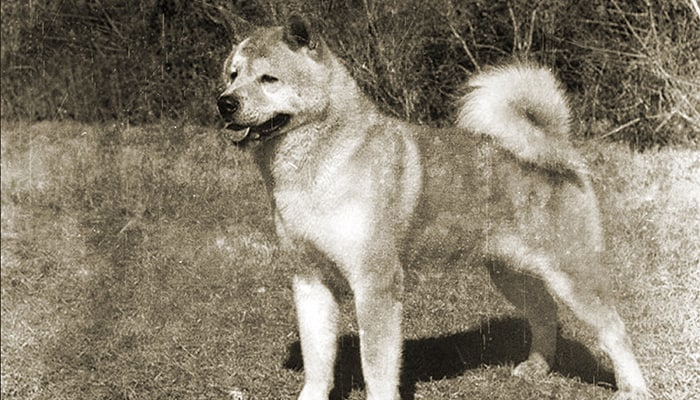 Old Japanese Akita Inu is standing in the grass.