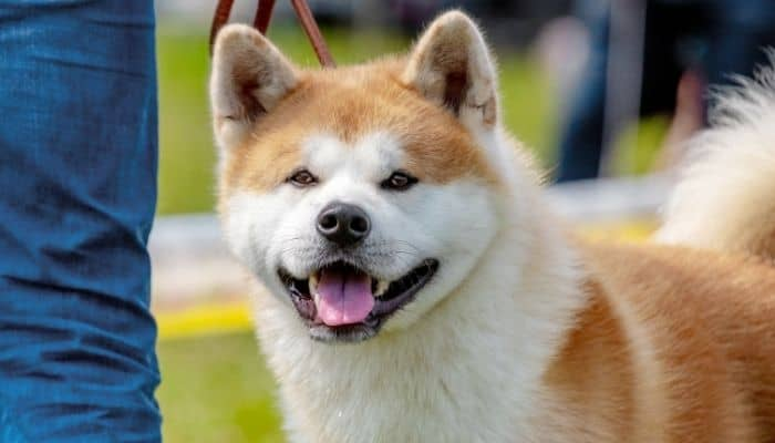 American Akita dog is drooling and standing next to its owner.
